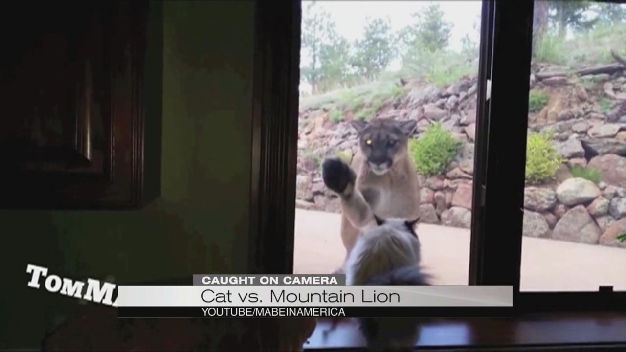 cat vs mountain lion_104139