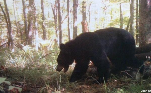 bear_101592