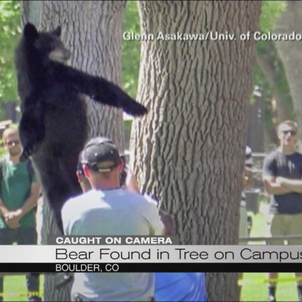 Bear falls from tree in CO_106741