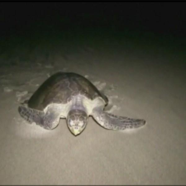 sea turtle_114778