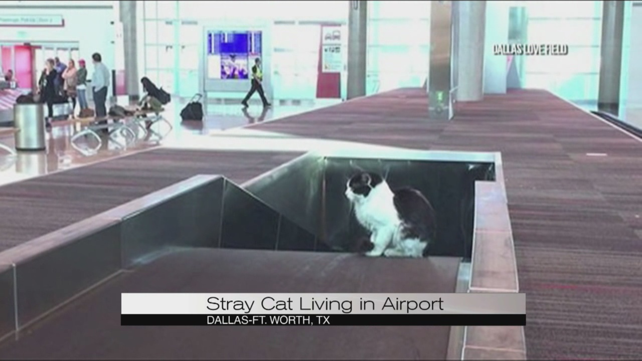 Stray cat at Dallas airport_118588