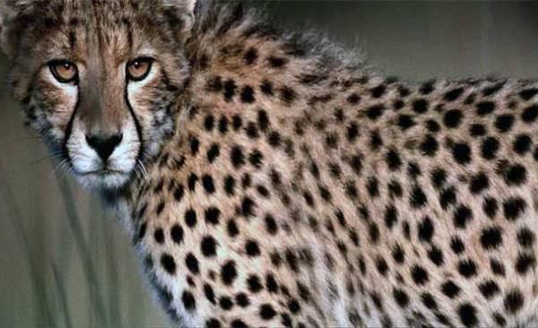 cheetah_161606