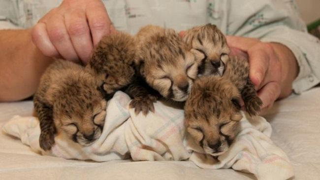 Cheetahs_161190