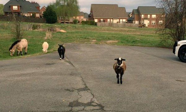 goats and pony_161153