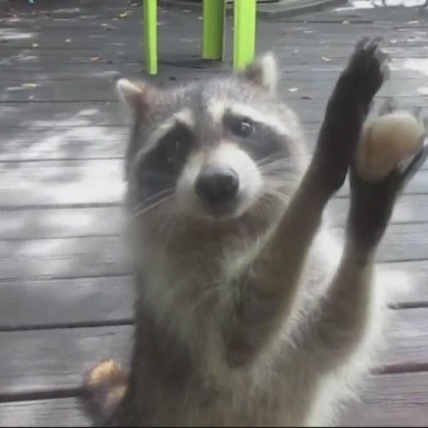 raccoon_121108