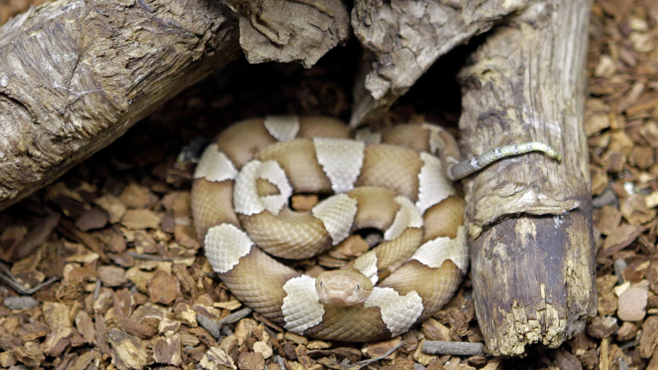 Copperhead Snake_175213