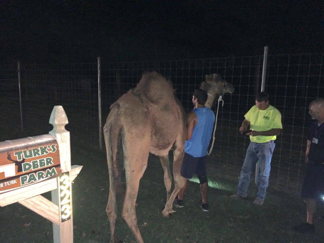 hurt-camel_193172