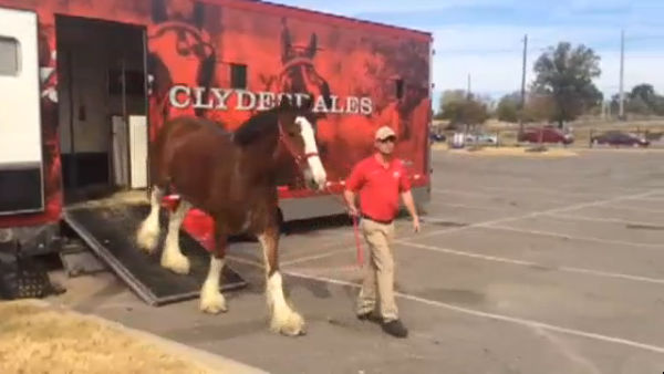 Budweiser Clydesdales in Birmingham for Veterans Day_203930