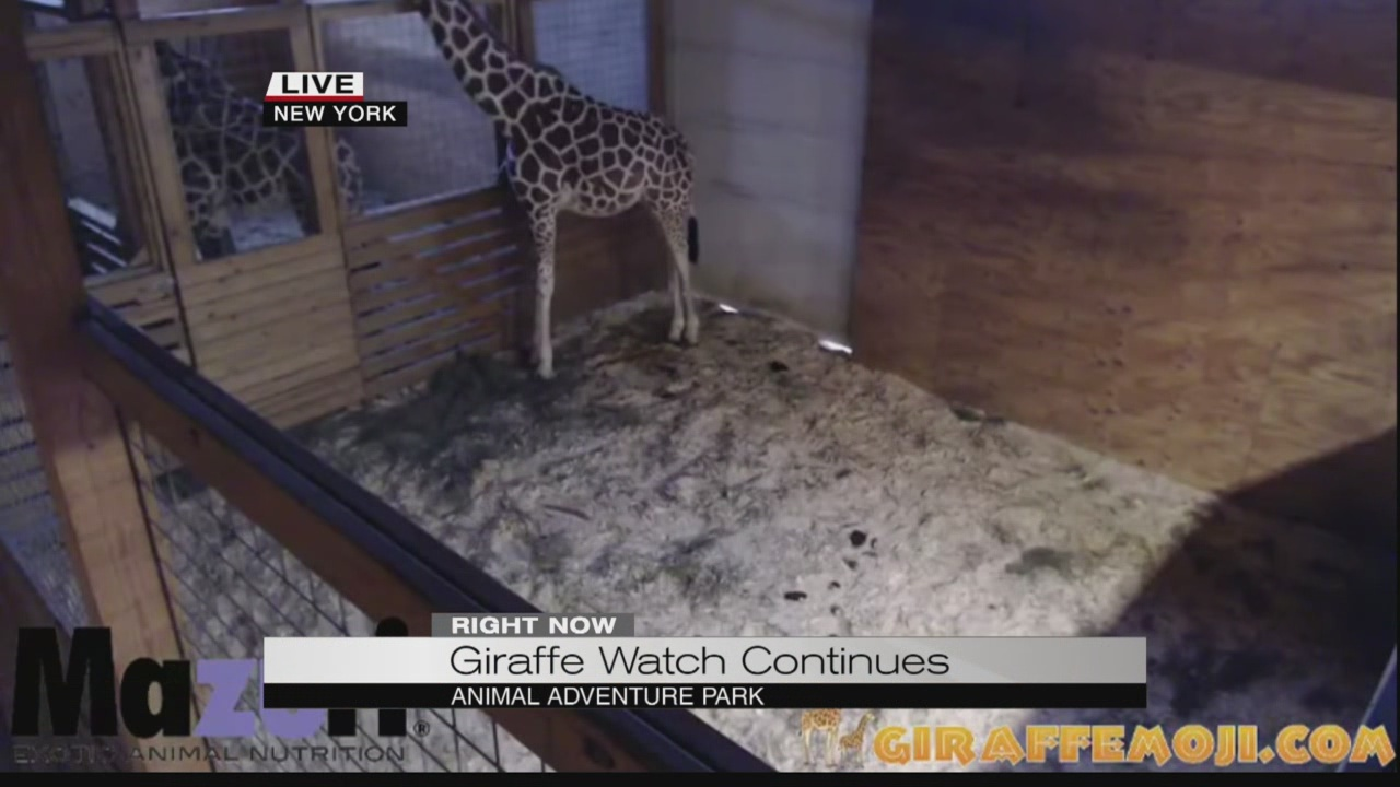 Giraffe watch continues