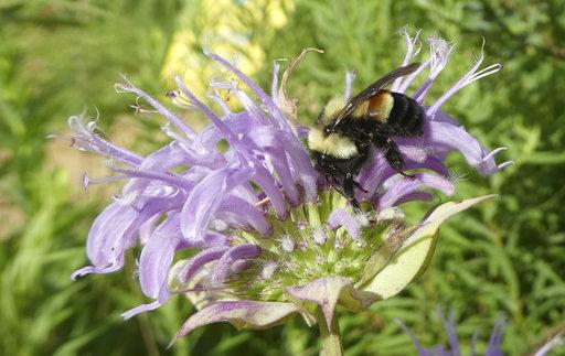 Endangered Bumblebee_247138