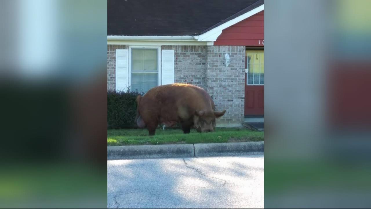 Wild hog roams neighborhood