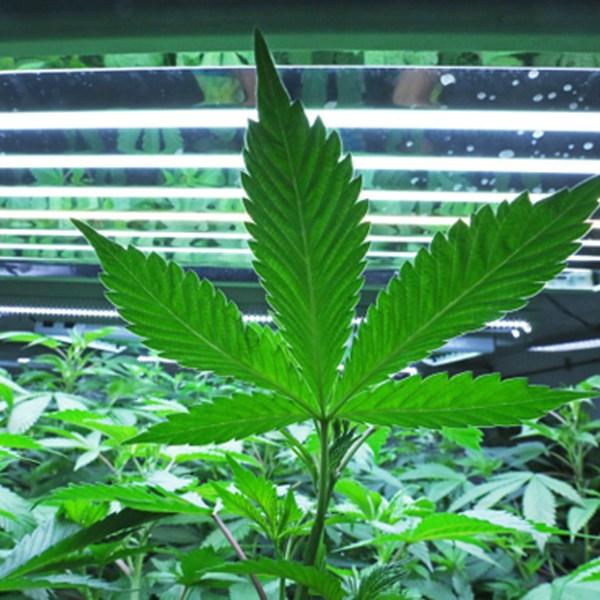 Marijuana_Sanctuary_States_19084-159532.jpg20608470