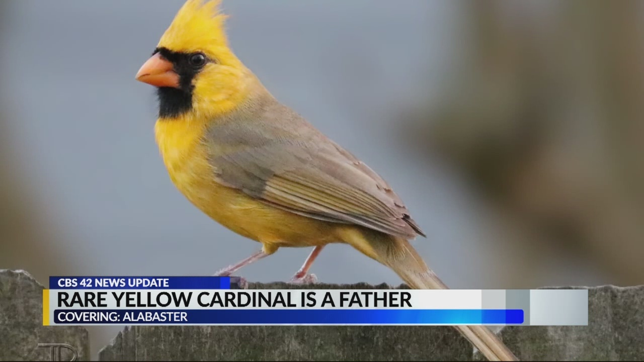 Yellow_cardinal_is_a_dad_0_20180604124116