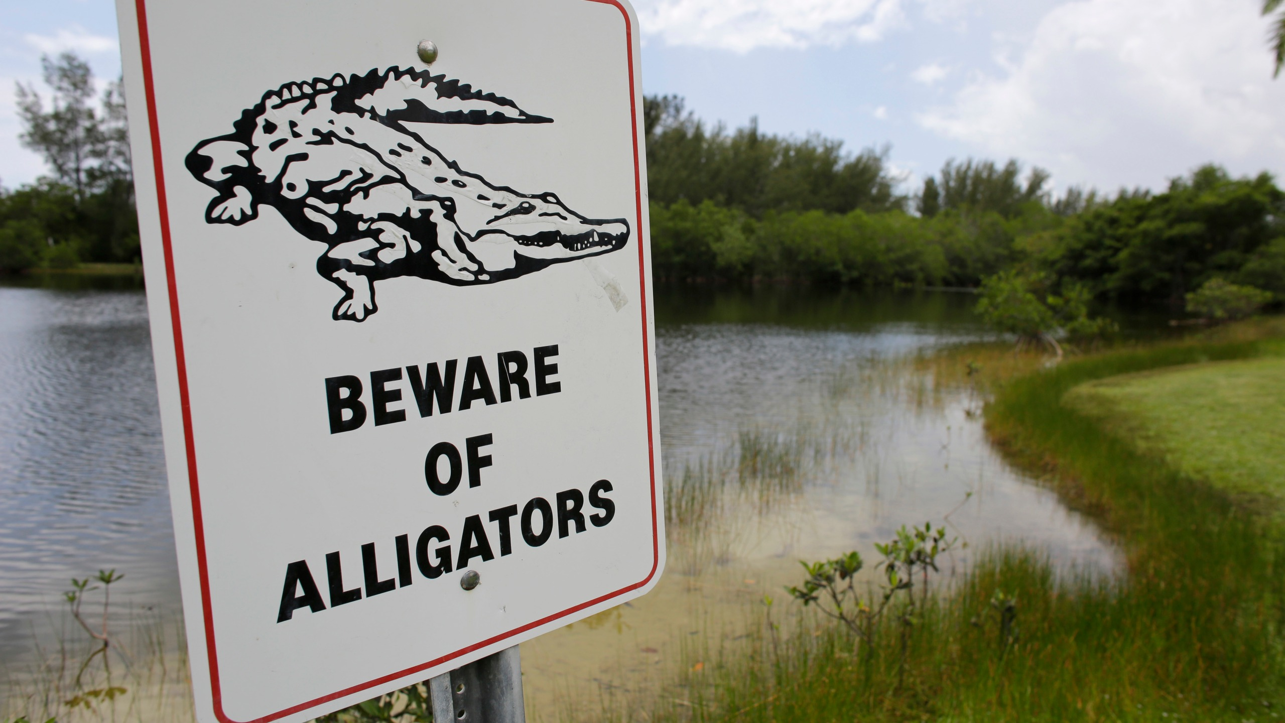Alligator Drags Toddler_179951
