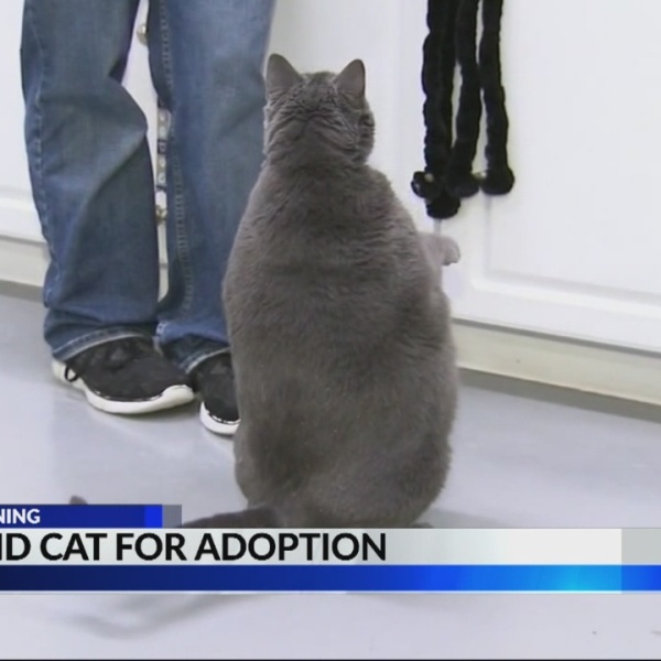 25_pound_cat_looking_for_fur_ever_home_0_20180822113420