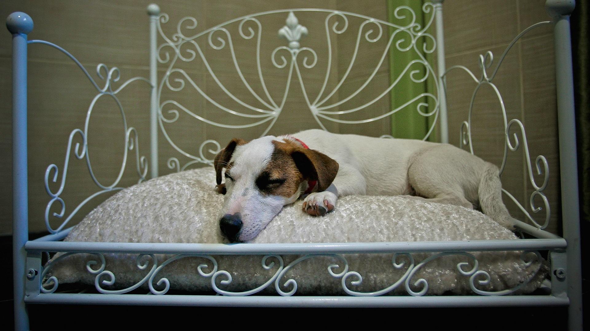 DOG SLEEPING IN BED-846652698