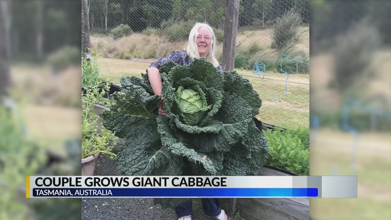CBS 42 is amazed by a giant cabbage