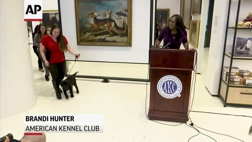 Labrador Retrievers voted most popular breed