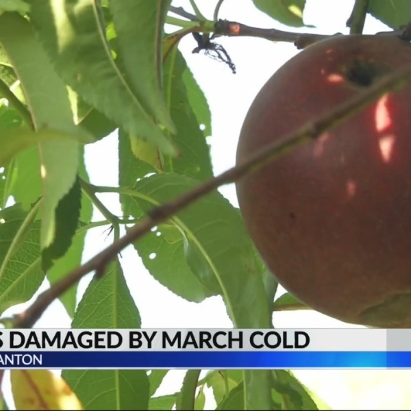 Peaches damaged by March cold weather