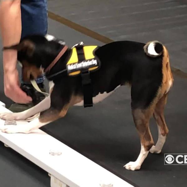 Dogs training to detect cancer
