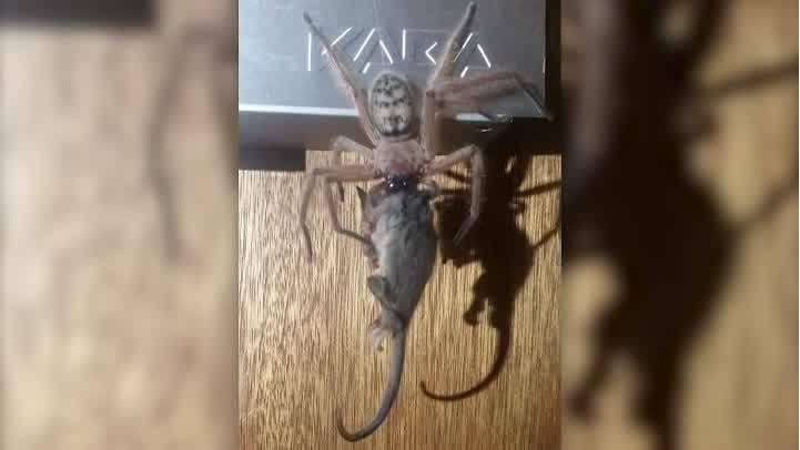 Giant spider eats possum