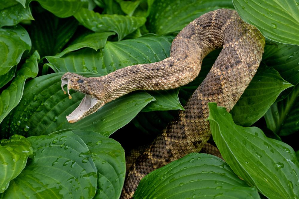 Rattlesnake_stock