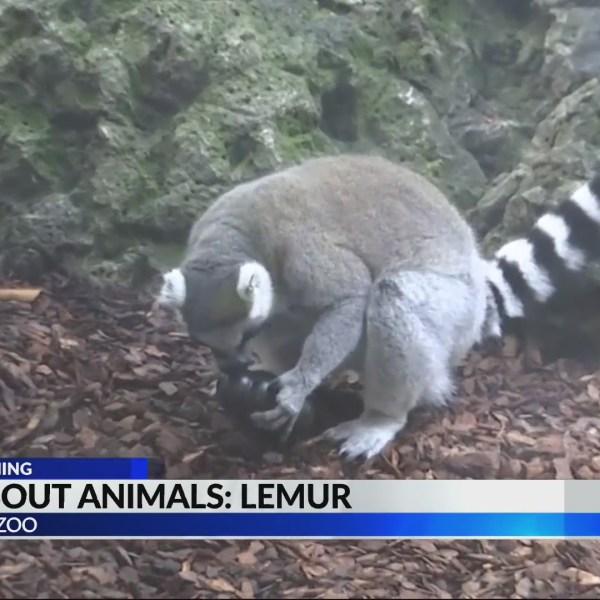 Wild About Animals: The lemur